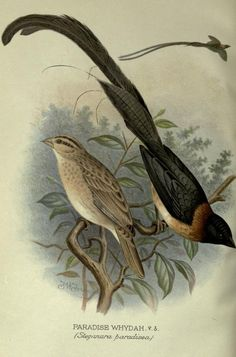 Foreign finches in captivity. - Biodiversity Heritage Library