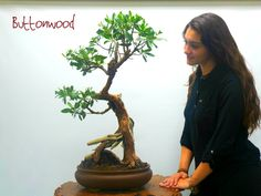 Miami Tropical Bonsai is one of the largest bonsai companies in the United States. We have over bonsai trees in stock, handmade bonsai pots, bonsai tools Wonder Art, Bonsai Trees, Tree Forest, Wonders Of The World, Miami, Tropical, Plants, Beautiful, Women