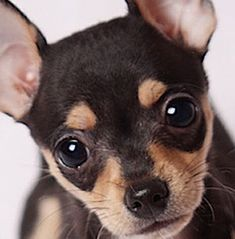 While the deer chihuahua is not a separate breed recognized by the american kennel club (akc), many breeders do recognize it as a subtype of chihuahua. Description from dogbreedspicture.net. I searched for this on bing.com/images