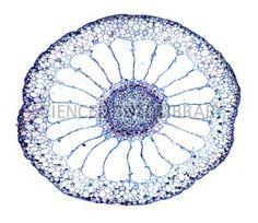 Water milfoil stem, light micrograph