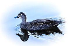 Sold - Blue Billed Duck
