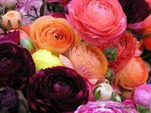 Ranunculus, so many petals....