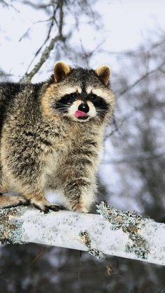 raccoon, branch, snow, climb
