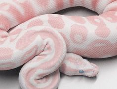 pink and white snake