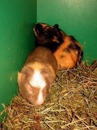 Internetowy sklep zoologiczny ZooFaktor - ŚWINKA MORSKA (Cavia porcellus) - odmiana CUY crested- SAMCE