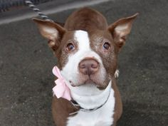 SAFE 8/16/14 Brooklyn Center -P My name is CHARISMA. My Animal ID # is A1010277. I am a female brown and white pit bull mix. The shelter thinks I am about 11 YEARS old. I came in the shelter as a OWNER SUR on 08/12/2014 from NY 11233, owner surrender reason stated was PET HEALTH. https://www.facebook.com/Urgentdeathrowdogs/photos/a.611290788883804.1073741851.152876678058553/854922971187250/?type=1