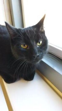 Truffles—large male domestic shorthair available for adoption