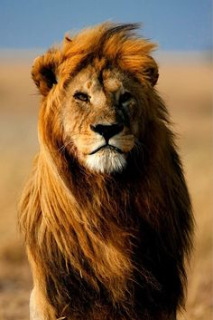 The king's face, African lion.