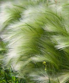 Svansfjädergräs, förslag till gräs i kruka