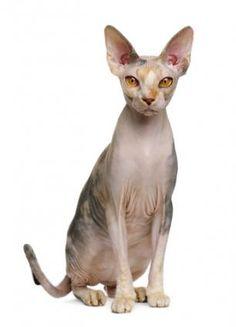 Sphynx cat #catbreeds - Know moreat - Catsincare.com!