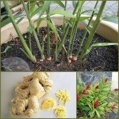 Bu kadar faydası olan bir bitki herkesin evinde bulunmalıdır. Her şekilde tüketebilirsiniz. İster çayını yapın için, ister ilaç niyet...