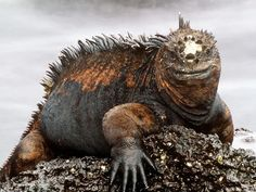 """Marine Iguana Basking in the Sun  Photograph by Rob Stewart/Animals Animals—Earth Scenes    Found only on the Galápagos Islands, marine iguanas often wear distinctive white """"wigs"""" of salt expelled from glands near their noses."""