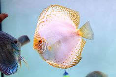 Photo gallery of Discus fish - Live Tropical Fish - Live Tropical Fish Discus Aquarium, Discus Fish, Freshwater Aquarium Fish, White Pigeon, Fish Gallery, Betta Fish Types, Birthday Wishes And Images, Fish Farming, Angel Fish