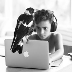 In 2013, Noah Bloom found a little wounded bird near a library of Newport, in Australia. After being nursed, the bird was finally adopted by the Bloom family who has decided to call him Penguin. Today, this magpie became the mascotte of the family who did an Instagram account where we can follow his intimacy.