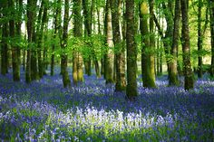 Holy Moley, just discovered this wood is in Roscommon!! - Bluebell woods, Boyle Co-Roscommon, Ireland