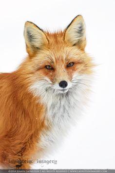launsteinimagery.com ⊰ by photograph jenaya launstein (male red fox renard) animal vulpes