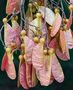 wasbella102:  Fruit of White Booyong: Anzang