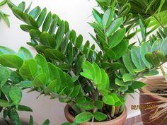 Zamioculcas zamiifolia - rastlina peňazí a šťastia