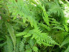 Transplant Ferns this Spring