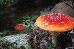Fly Agaric Mushroom (Amanita Muscaria) Royalty Free Stock Photo Mushroom Stock, Image Now, Stuffed Mushrooms, Royalty Free Stock Photos, Red, Stuff Mushrooms