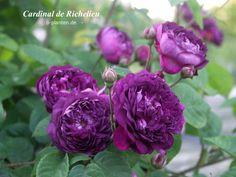 'Cardinal de Richelieu ' Rose Photo