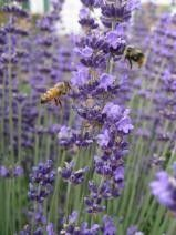 Sammamish Valley Lavender Celebration Redmond, WA - Kids events & things to do with your children