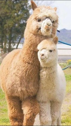 Fluffy Cows, Fluffy Animals, Animals And Pets, Cute Creatures, Beautiful Creatures, Animals Beautiful, Alpacas, Cute Little Animals, Cute Funny Animals