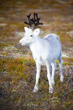 White Reindeer ; photo by Pentti Sormunen.