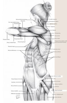Rey Bustos - 2D Anatomy Drawing Class | July 12th   Register: http://laafa.org/art-classes/2d-anatomy-drawing-rey-bustos/
