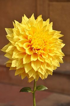 Yellow button poms flower pinterest flower flowers and flower types i like yellow flowers especially the ones who look happy to see me mightylinksfo