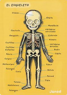 el cuerpo humano - Glòria P - Álbumes web de Picasa ✿ Spanish Learning/ Teaching Spanish / Spanish Language / Spanish vocabulary / Spoken Spanish ✿ Share it with people who are serious about learning Spanish! Spanish Grammar, Spanish Vocabulary, Spanish Words, Spanish English, Spanish Language Learning, Spanish Teacher, Spanish Classroom, Spanish Lessons, How To Speak Spanish