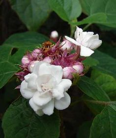 Image issue du site Web http://www.gralon.net/articles/vignettes/thumb-le-clerodendron-fragrans---un-bel-arbuste-parfume-6372.gif