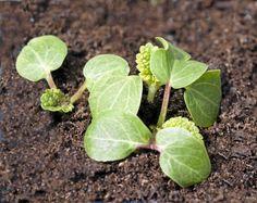 Så och plantera frön av stockrosor – bästa tipsen | Land Allotment Gardening, Land, Plant Leaves, Garden Ideas, Tips, Flowers, Lavender, Counseling