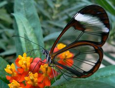 Glass wing or clear wing butterfly