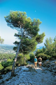 Trekking in Ceyreste, Provence Alps _ this beautiful tree reminds me of one similar in the Doms Gardens in Avignon which is very old and half leaning over and is supported to save it from falling over