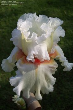 Iris Ghio 2002 TB  | PlantFiles Pictures: Tall Bearded Iris 'Heaven' (Iris) 5 by sjlfinne