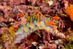 splendid nudibranch Underwater Images, Sea Slug, Clownfish, Biology, Polymer Clay, Animals, Naturaleza, Blue, Animales