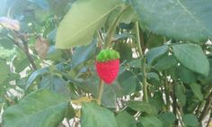 Fresón dulce (Strawberry gominoli)