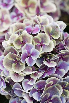 33587 by Clive Nichols  Hydrangea macrophylla 'ramars mars'