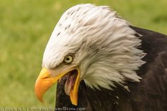 I captured this fantastic moment of a bald eagle 🦅 about to bite into it's prey. In their natural habitat bald eagles… by adam-aj Eagles, Bald Eagle, Habitats, Stock Photos, Bird, Nature, Animals, Animales, Eagle