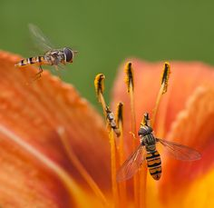 Photo L, Top Photo, Cool Photos, Insects, Bee, Photography, Animaux, Honey Bees, Photograph