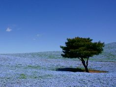 Japan may be best known for cherry blossoms, but at Hitachi Seaside Park, its the rolling hills of baby blue-eyes that steal the show. After the blue blossoms fade, youll see burning bush, cosmos, zinnia and roses throughout the rest of the year. In autumn, the leaves on the trees are just as colorful as the flowers.