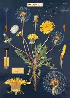 Affiche Chardons Cavallini. Poster, papier cadeau, une belle reproduction d'affiche ancienne à différentes étapes de la croissance et de la floraison du pissenlit.