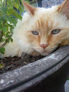 Big White Cat in Planter