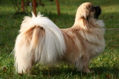 Tibetan Spaniel....looks a bit like Tincha (?who)