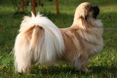 Tibetan Spaniel....looks a bit like Tincha