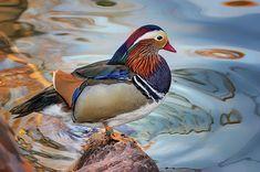 Mandarin Duck Portrait by Nikolyn McDonald Aix Galericulata, Mandarin Duck, Framed Prints, Canvas Prints, Wood Print, Rivers, Great Britain, Lakes, Fresh Water