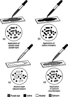 Parts and Functions of a Light Microscope (Part II