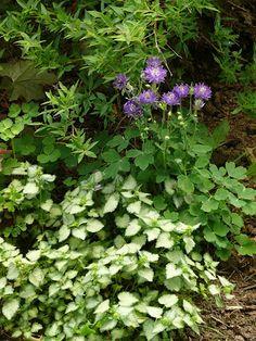 double columbine Gardens, Herbs, Flowers, Plants, Outdoor Gardens, Herb, Plant, Royal Icing Flowers, Flower