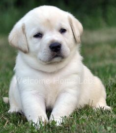 Yellow Lab Puppy from www.welcomehomelabs.com